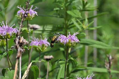 This is a closer to real size Snowberry Clearwing Hummingbird Moth, it is small. It goes flower to flower hovering.