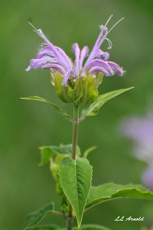 "The ""Wild Bergamot"" is a  hummingbird moth's delight"