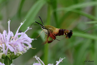 A Snowberry Clearwing Hummingbird Moth