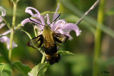 Snowberry Clearwing Hummingbird Moth is small and fast