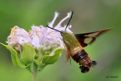 A clearwing Hummingbird Moth