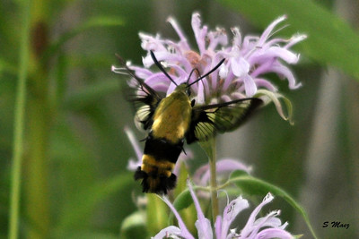 """This Snowberry Clearwing is real small, about an 1 1/4"""" long"""