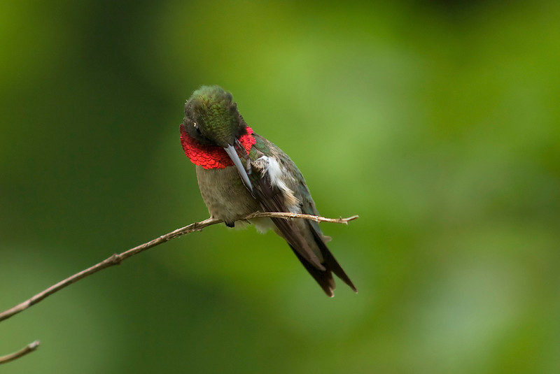Male Ruby Throat - scratching session