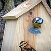 Mésange bleue du jardin © 2020 Olivier Caenen, tous droits reserves