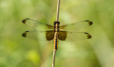 Widow Skimmer Female Dragonfly