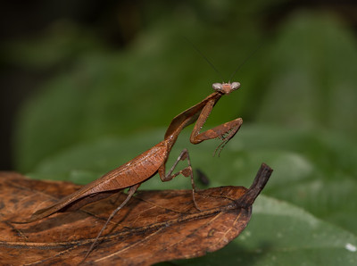 Dead Leaf Mantis