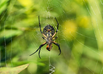 Black & Yellow Spider