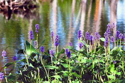 Pickerel Weed on Goshen Pond Goshen Pond, Wharton State Forest  Fragrant Water Lilies and Pickerel Weed decorate Goshen Pond in the summer exploding in a vibrant display of purple, green and white. Along the banks, blooms of the Buttonbush burst with their cosmic-like spheres, while pint Meadow Beauty, Cross-leaved Milkwort and Slender Bur-reed peak out from among the grasses and moss.