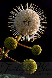 Buttonbush Intimate Detail Goshen Pond, Wharton State Forest