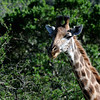 Kariega Game Reserve © 2009 Olivier Caenen, tous droits reserves