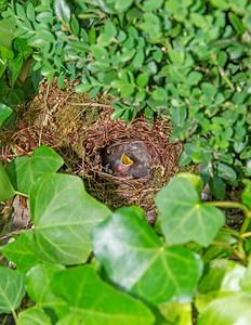 Carolina Wren Nest