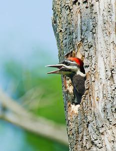 Pileated Woodpecker Bacon Woods