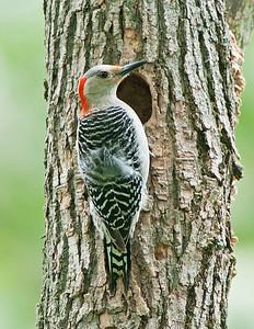 Red-Bellied Woodpecker Female Oberlin, Ohio