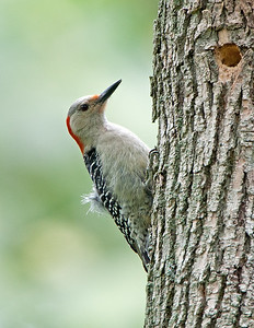 Red-Bellied Woodpecker Female Oberlin, Ohio