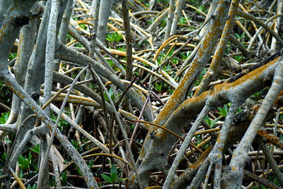 Mangrove | Sanibel Island, Florida | US - 0017