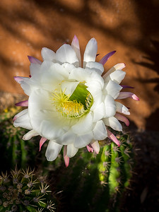 Argentine Cactus in Flower