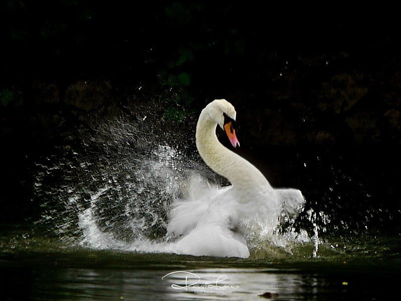 The Mute swans are the largest members of the duck family Anatidae.