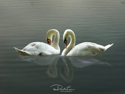 It was windless and both were concentrating on their preening, but yet seems to enjoy each other companionship. The approaching dusky hour provides the bluish hue and the almost perfect mirror reflection was a bonus for any photographer.