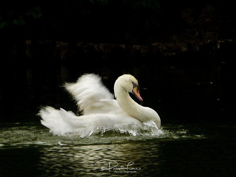 Swans are revered in Hinduism, and are compared to saintly persons whose chief characteristic is to be in the world without getting attached to it, just as a swan's feather does not get wet although it is in water.