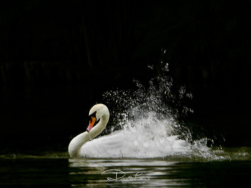 During the breeding season the male becomes very territorial and aggressive to any intruders. This behaviour has been known to extend to swans fighting to the death.