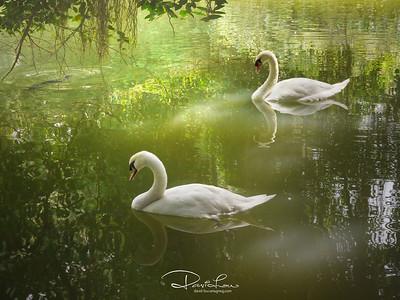One of my favorite swan pics.