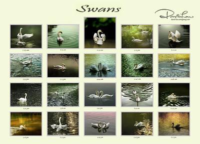 Swans taken at various timings