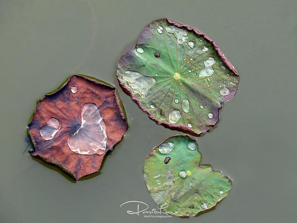 Water Lily 6 - Frozen cookies