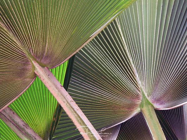 Emperor's fan - Lodoicea maldivica (Common Name: Double coconut)