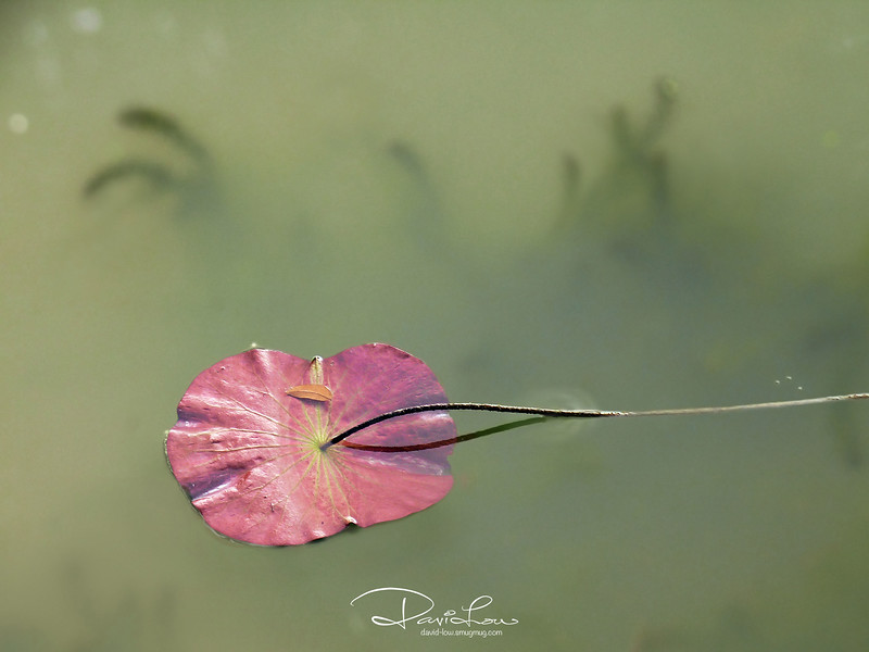 Gliding along - Water lily 5