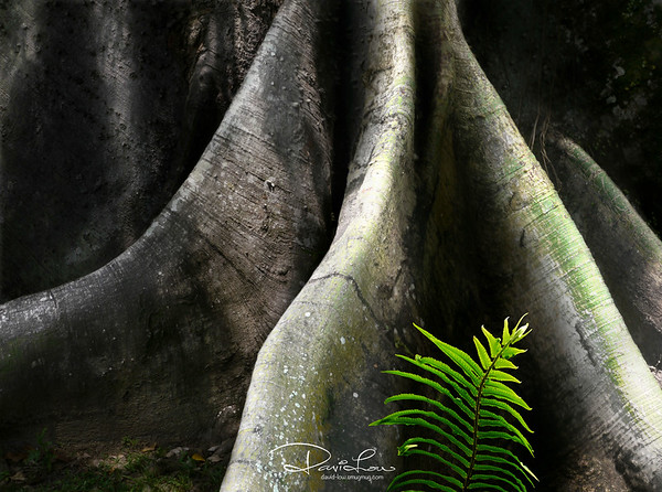 Young fern - rise against the colossal roots of a designated heritage Kapor tree planted in 1933.
