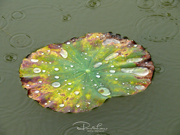 Water Lily 11