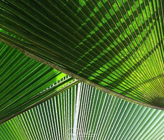 Overlapped - Licuala grandis (Common Name: Fan Palm)
