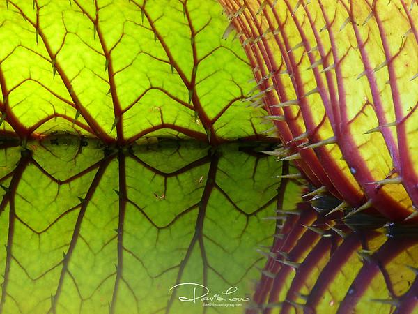 Amazon giant lily 2