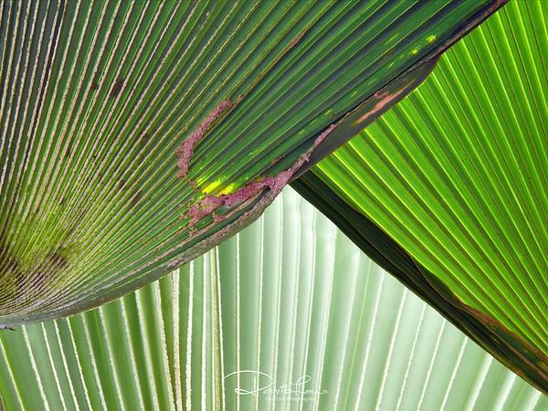 Curtain - Licuala grandis (Common Name: Fan Palm)