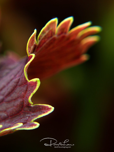Chicken wing - Coleus Blumei 2