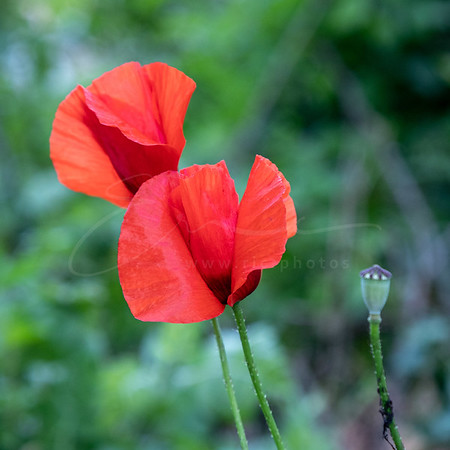 coquelicot - et si on vivait tous ensemble ? | corn poppy -together