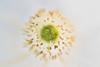 Anemone Coronaria, Pure White Bride
