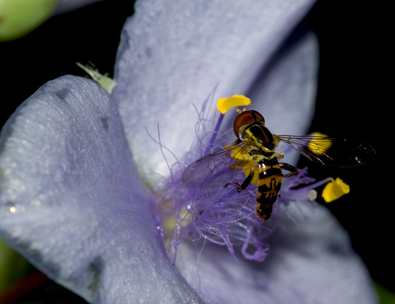 Hover Fly on Wild Spiderwort