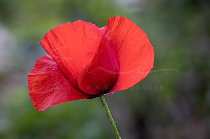 le coquelicot - la fleur préférée de ma mère | corn poppy | Klatschmohn