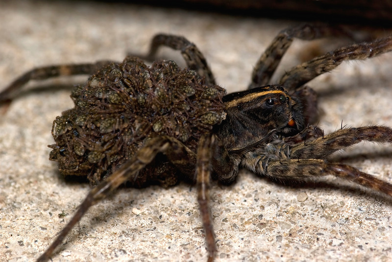 """Female Wolf Spider (Hogna helluo) with her baby spiders (aka """"spiderlings"""")"""