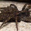 "Female Wolf Spider (Hogna helluo) with her baby spiders (aka ""spiderlings"")"