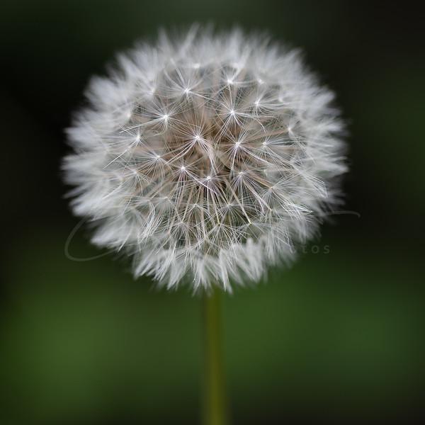 le pissenlit   dandelion - the blowball