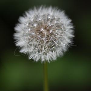 le pissenlit | dandelion - the blowball