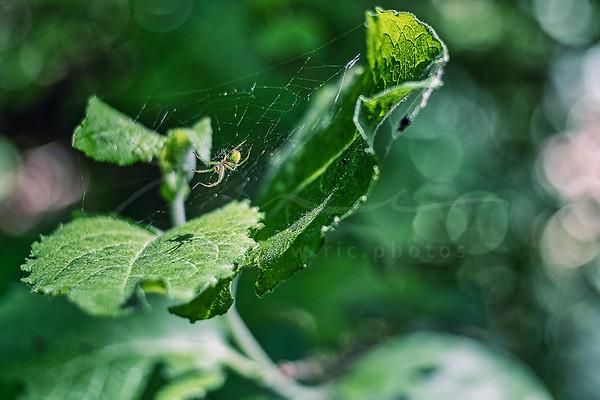 le chef de sa toile d'araignée | the ruler of her cobweb