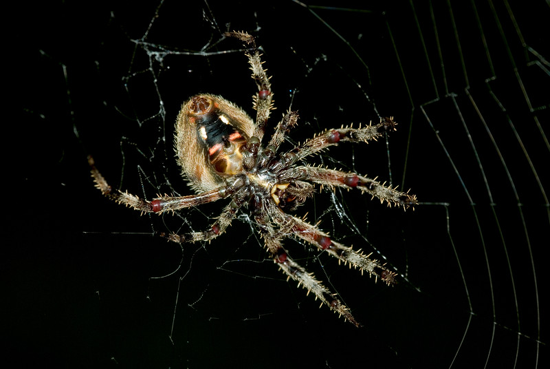 """Orb Weaver<br /> <br /> This was a very large specimen, weaving it's web between two taller oak trees making the web ~6-8 feet across. Estimate the spider's span (front to back) to being close to 3""""."""