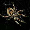 "Orb Weaver<br /> <br /> This was a very large specimen, weaving it's web between two taller oak trees making the web ~6-8 feet across. Estimate the spider's span (front to back) to being close to 3""."