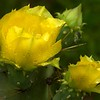 Prickly Pear Cactus after heavy rainfall