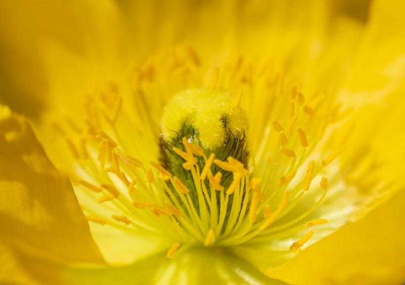 Yellow Arctic Poppy