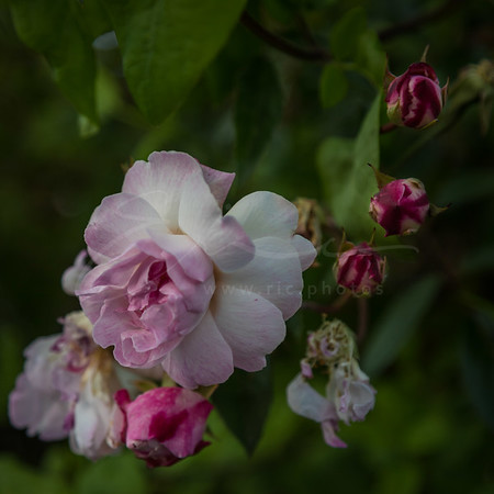 églantier | wild rose