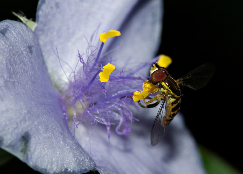 Hover Fly on Wild Spiderwort III